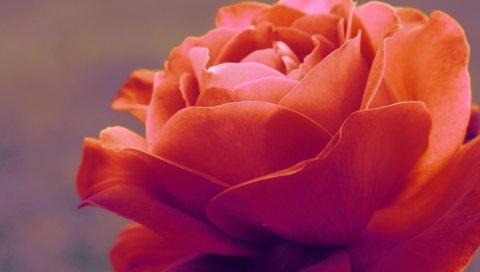 Роза, растение, лепестки, красный