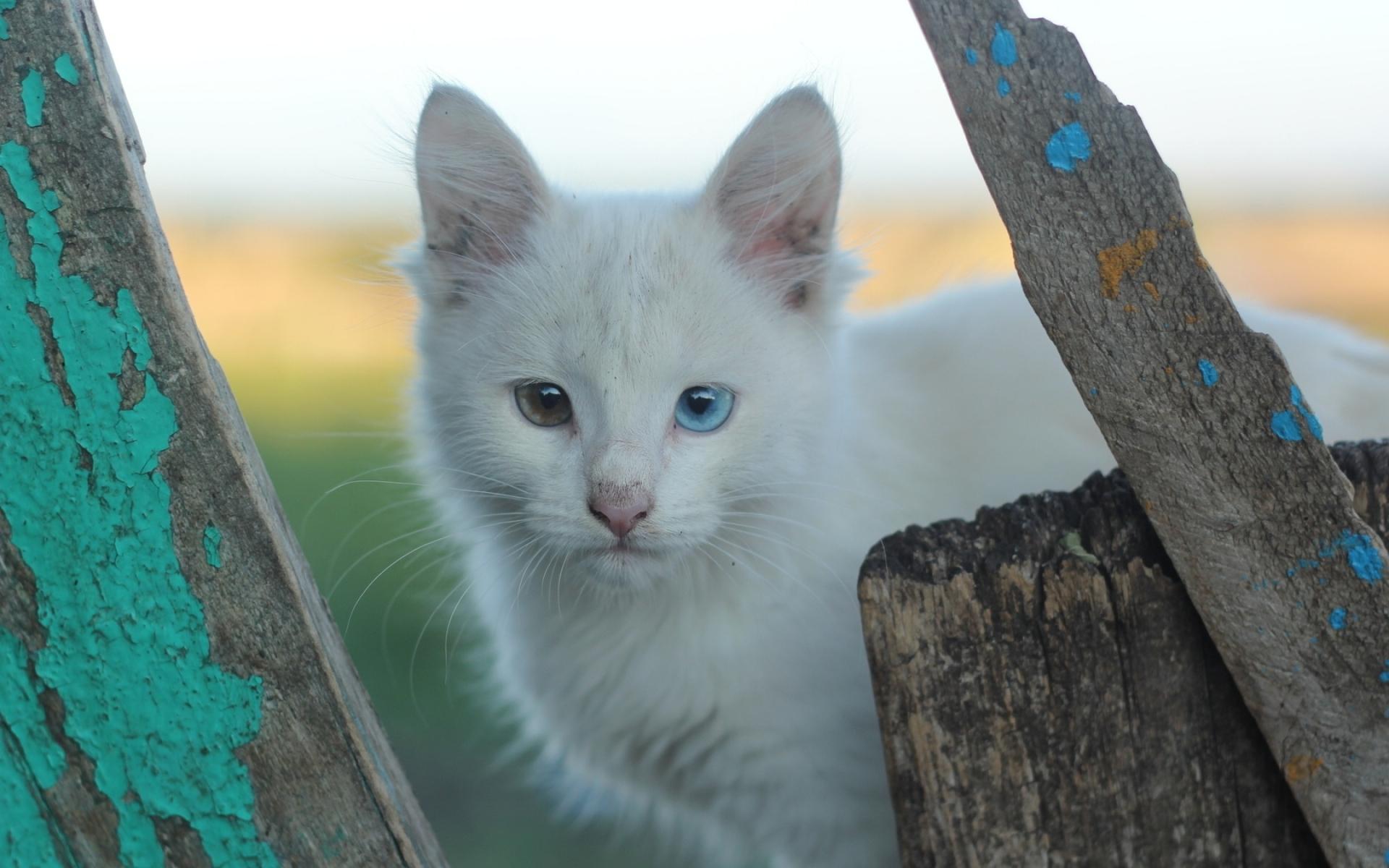 Картинки Гетерохромия, белая кошка, кошка, морда фото и обои на рабочий стол