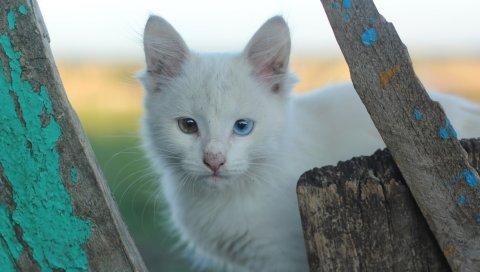 Гетерохромия, белая кошка, кошка, морда