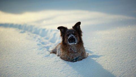 Собаки, зима, снег, игривый