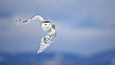Сова, птицы, небо, полет, хищник
