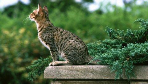 Кошка, табби, цвет, сидение, котенок