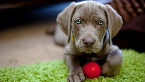 Собака, щенок, морда, мяч, игрушка