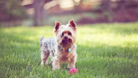 Йоркширский терьер, прогулки, трава, собака, воротник