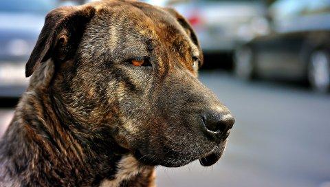Собака, морда, глаза, цвет, грусть, взгляд