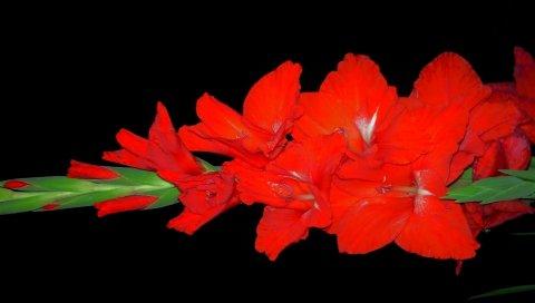Гладиолус, цветок, яркий, черный фон