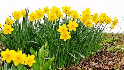 Нарциссы, цветы, клумба, весна