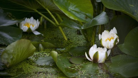Лилии, вода, листья, травы