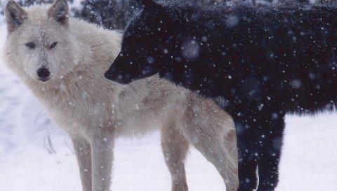 Волки, пара, хищник, снег, собаки