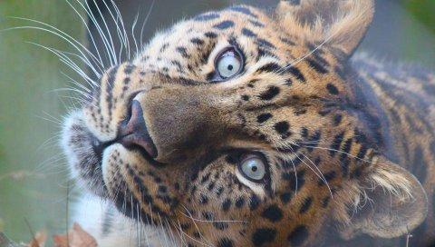 Леопард, морда, хищник, глаза, большой кот