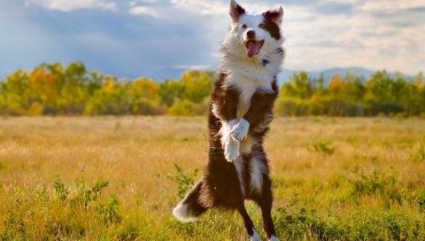 Собака, трава, прыжок, природа