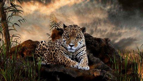 Леопард, трава, большая кошка, плотоядное животное, ложь, камни