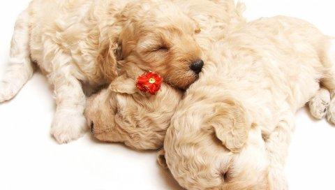 Щенки, сон, кудрявый, праздник, собака