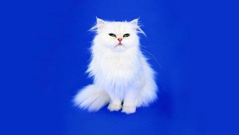 Кошка, пушистый, фон, фотосессия, взгляд