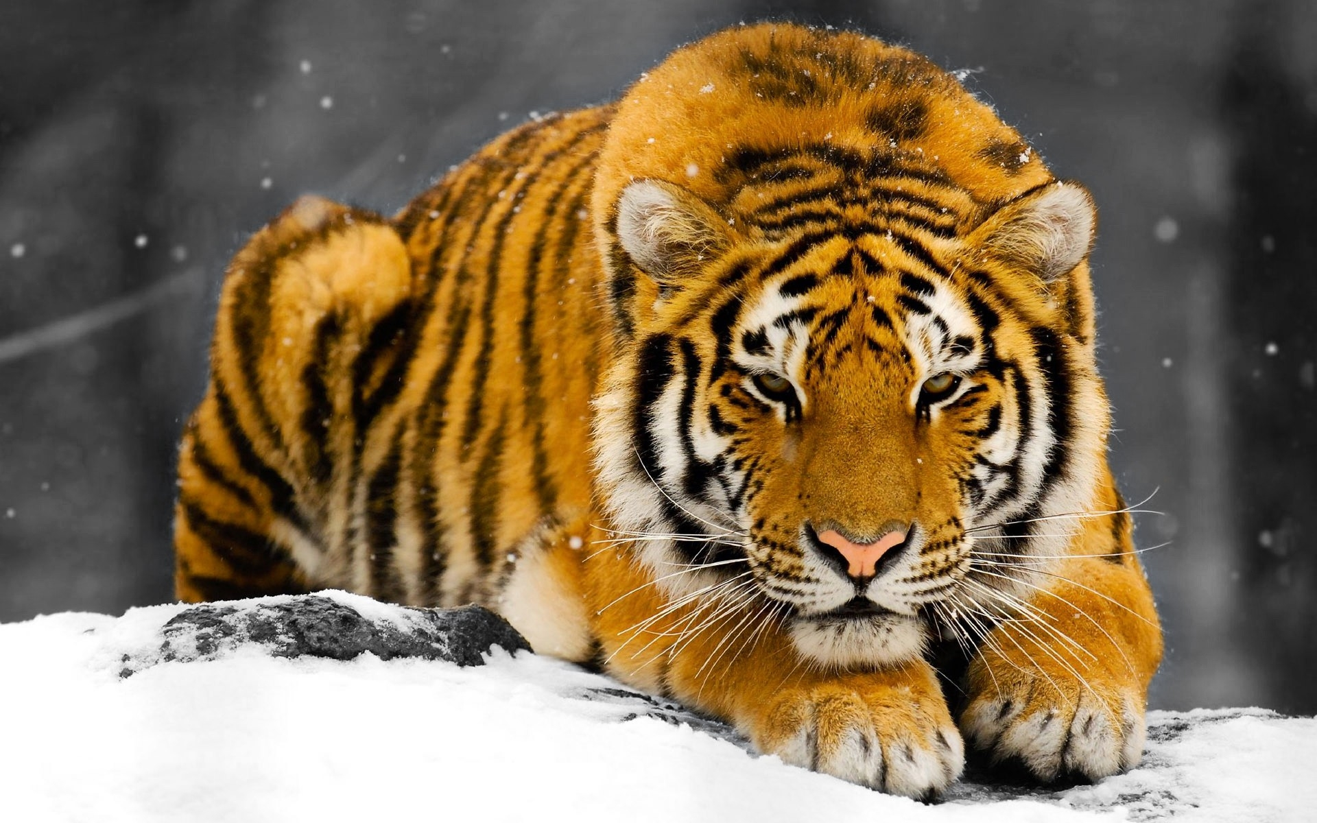 Fotos de portada tigres 21