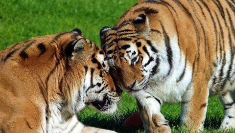 Тигры, пара, большие кошки, хищники