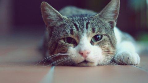 Кошка, лицо, отдых, ложь