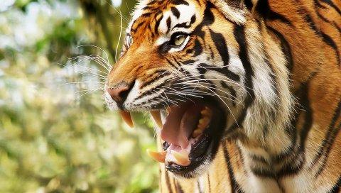 Большая кошка, тигр, лицо, зубы, гнев
