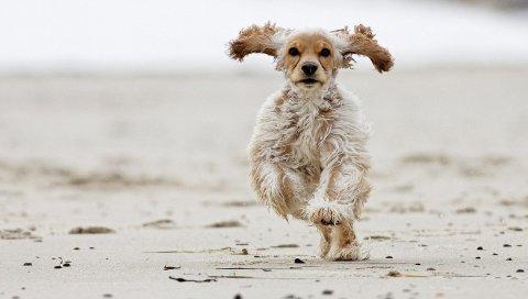 Собака, пушистая, бег, прыжки