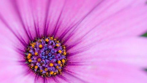 Лепестки, цветок, нежный, розовый
