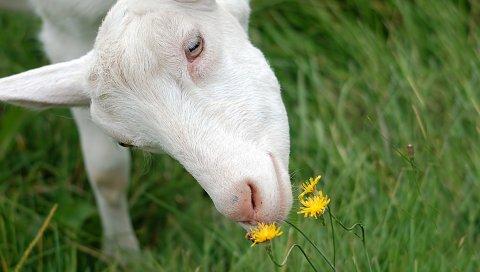 Коза, запах, белый
