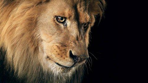 лев, грива, хищник, темный фон