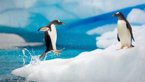 пингвины, пара, снег, лед, арктические, прыгать, Антарктида