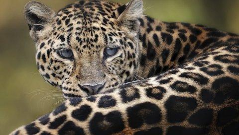 леопард, большая кошка, лежа, лицом