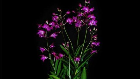 орхидеи, экзотические, черный фон, контраст