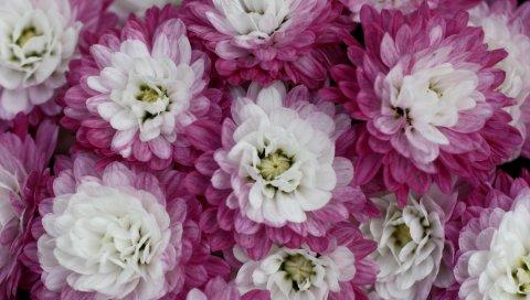 хризантемы, двухцветные, лепестки, макро