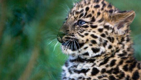 леопард, детеныш, пятнистая, большая кошка