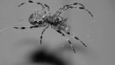 паук, паутина, ноги, подняться
