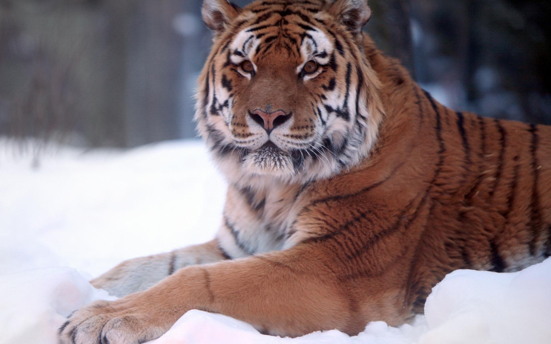 Картинки тигр, хищник, снег, вниз, большие кошки фото и обои на рабочий стол