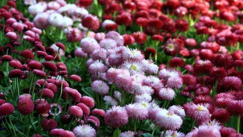 Ромашки, цветы, клумба, яркие, разные