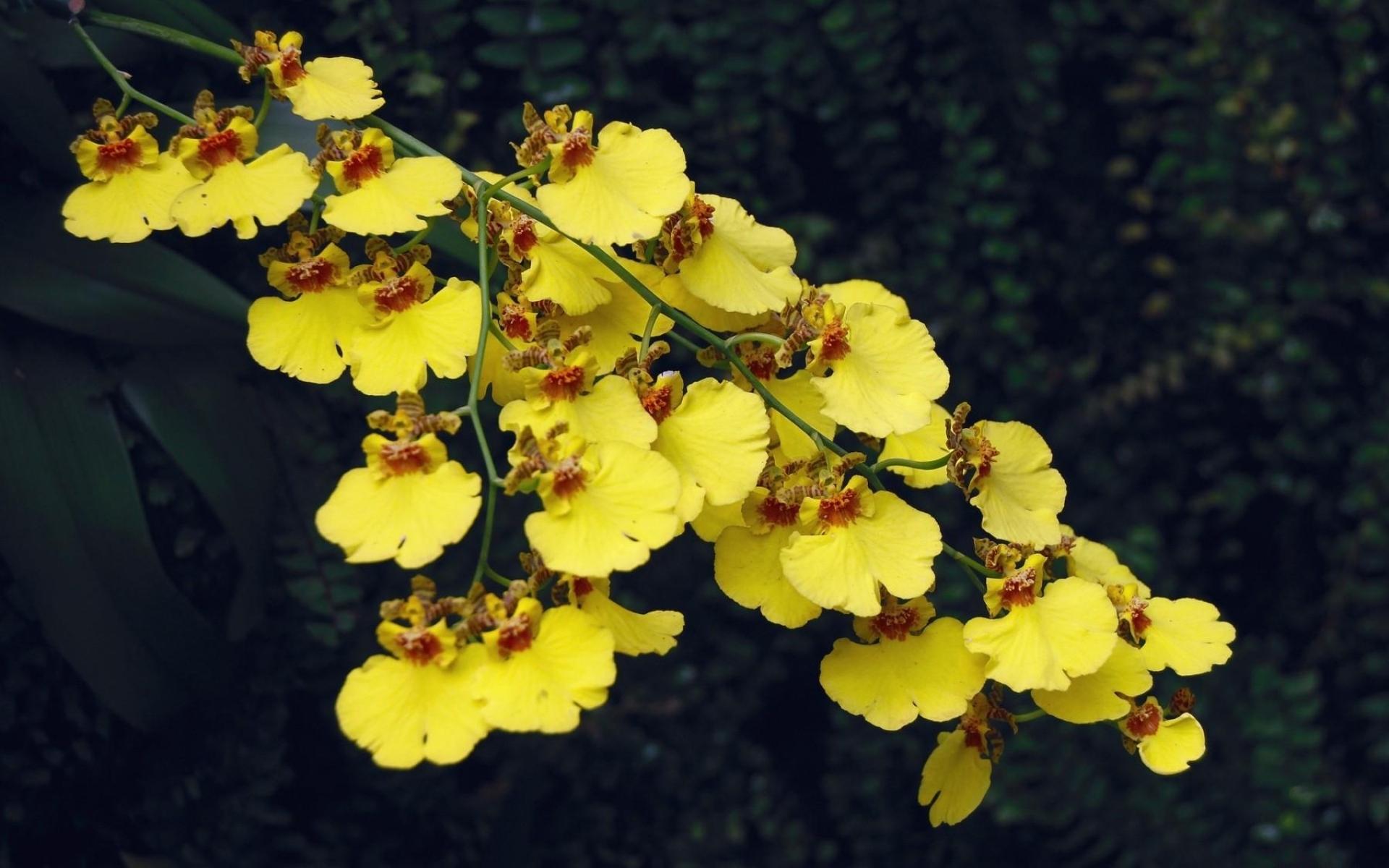 Картинки Орхидея, цветы, ветви, острота фото и обои на рабочий стол