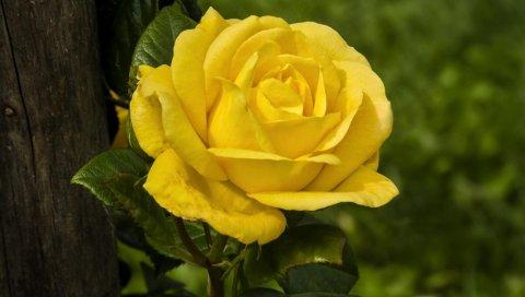 Роза, желтый, дерево, резкость