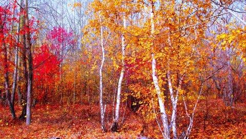 Малиновый, золотой, красный, осень, природа, деревья, листья, октябрь, лес, тишина, клен
