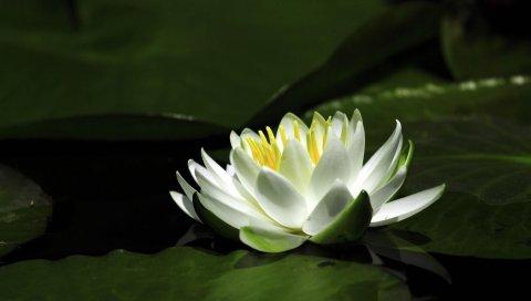 кувшинка белоснежная, вода, листья