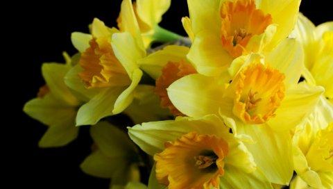 нарцисс, цветок, макро