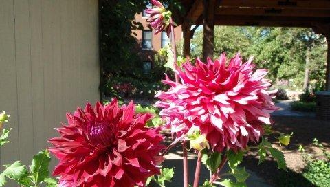 Георгины, цветы, клумба, солнечный, тени