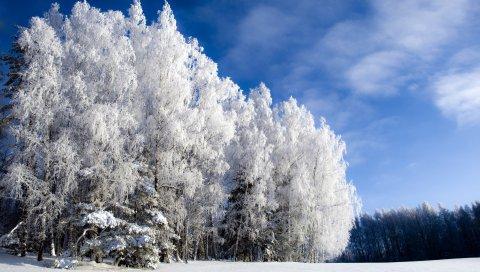 Береза, снег, иней, зима, небо прозрачное, поляна, снизу