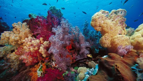 Кораллы, разноцветные, подводные, мирные, яркие, маленькие рыбы, вода, индонезия