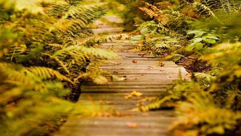 папоротник, путь, растительность, осень, листы