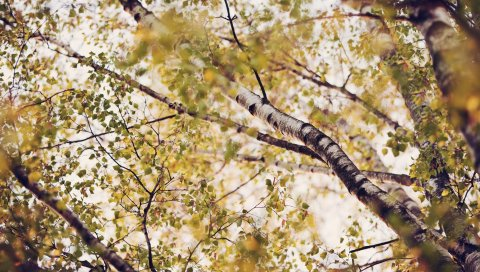 березы, листья, снизу, крона, осень, ветви, тупость