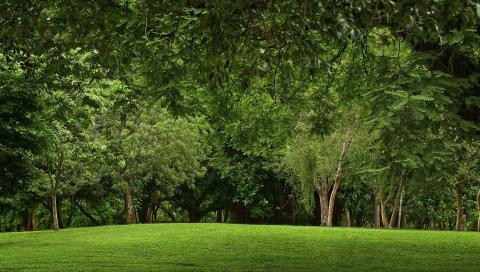 поляна, лес, зеленый, лето, лужайка, холм, ветви, деревья