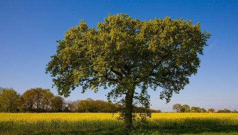 дерево, одинокое, поле, лето, крона, полуденный