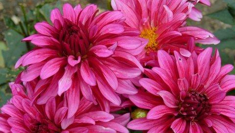 георгины, цветы, лепестки, макро