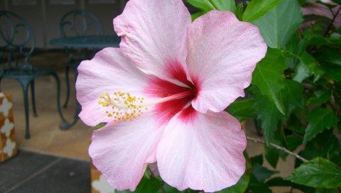 Гибискус, цветы, роза, лист, веточка