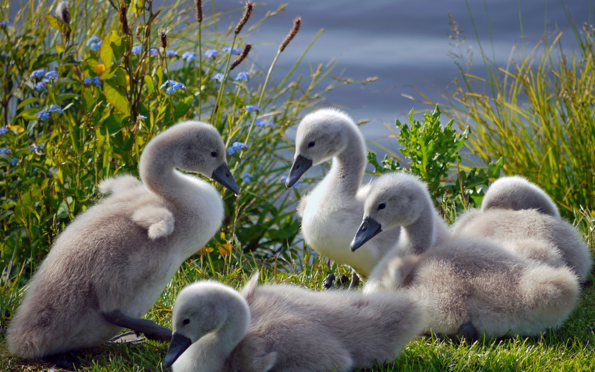 Картинки Лебеди, утки, трава, стадо, семья фото и обои на рабочий стол