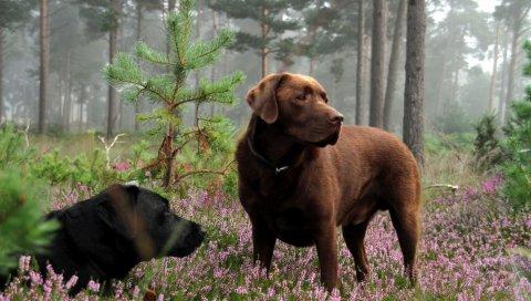 Собаки, луг, трава, цветы, ложь, отдых